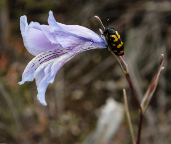 Specialist pollinators of Grootbos Private Nature Reserve